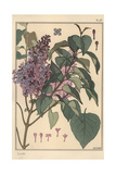 Lilac Botanical Study Giclee Print by Eugene Grasset