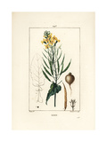Rapeseed or Oilseed, Brassica Napus Giclee Print by Pierre Turpin