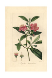 Ceylon Hill Gooseberry, Rhodomyrtus Tomentosa, Native to Asia Giclee Print by Pancrace Bessa