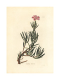 Ligneous Pink, Dianthus Arboreus Giclee Print by George Cooke
