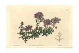 Mock Vervain, Glandularia Laciniata Giclee Print by Sarah Drake