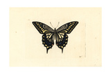 Asian Swallowtail, Papilio Xuthus Giclee Print by Richard Nodder