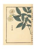 Mukkou Bara or Lady Banks' Rose, Rosa Banksiae Giclee Print by Bairei Kono
