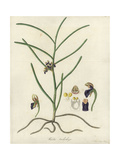 Luisia Trichorrhiza Orchid Giclee Print by William Jackson Hooker