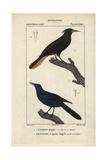 Crested Oropendola, Psarocolius Decumanus, and Oriole or Troupial Giclee Print by Jean Gabriel Pretre