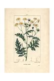 Feverfew, Matricaria Vulgaris Giclee Print by Pierre Turpin
