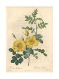 Austrian Briar Rose, Rosa Foetida Giclee Print by Pierre-Joseph Redouté