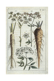 Caraway, Carum Carvi, and Parsnip, Pastinaca Sativa Giclee Print