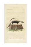 Striped Skunk, Mephitis Mephitis Giclee Print