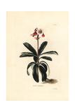 Prince's Pine, Chimaphila Umbellata Giclee Print by George Cooke