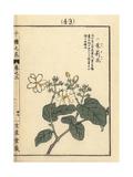 Arabian Jasmine, Jasminum Sambac Giclee Print by Bairei Kono