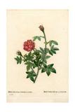 De La Fleche Rose, Rosa Centifolia Var Muscosa Giclee Print by Pierre-Joseph Redouté