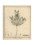 Black Psyllium, Plantago Afra Giclee Print by F. Guimpel