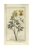 Yellow Monkshood, Aconitum Anthora Giclee Print