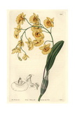 Lindley's Dendrobium Orchid, Dendrobium Lindleyi Giclee Print by Sarah Drake