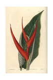 Powdered Heliconia, Heliconia Farinosa Giclee Print by Sarah Drake