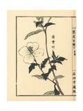 Matsuyoigusa or White Evening Primrose, Oenothera Odorata Giclée-Druck von Bairei Kono