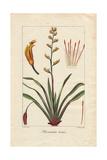 New Zealand Flax, Phormium Tenax Giclee Print by Pancrace Bessa