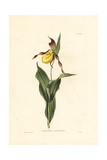 Yellow Lady's Slipper or Mocassin Flower, Cypripedium Parvifloru Giclee Print by W.I. Cooke