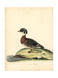Wood Duck, Aix Sponsa Giclee Print by William Hayes