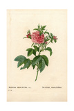 Agatha Prolifere Rose, Rosa Gallica Variety Giclee Print by Pierre-Joseph Redouté