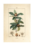 German Medlar, Mespilus Germanica Giclee Print by Pierre Turpin