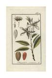Almond Tree, Prunus Dulcis Giclée-Druck