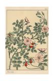 Wild Rose Botanical Study Giclee Print by Eugene Grasset