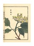 Kuruma Mizuki or Wedding Cake Tree, Cornus Controversa Giclee Print by Bairei Kono