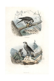 Eurasian Sparrowhawk and Northern Goshawk Giclee Print by Edouard Travies