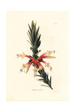 Pink Five Corners, Styphelia Triflora Giclee Print by George Cooke