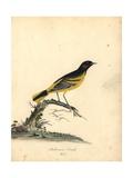 Baltimore Oriole, Icterus Galbula Giclee Print by Matilda Hayes
