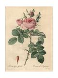 Pierre-Joseph Redouté - Autumn Damask Rose, Rosa Damascena Var Bifera - Giclee Baskı