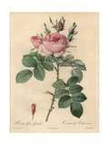 Autumn Damask Rose, Rosa Damascena Var Bifera Giclee Print by Pierre-Joseph Redouté