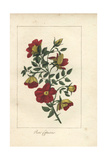 Austrian Copper Rose, Rosa Foetida Giclee Print by Mlle. Prudhomme