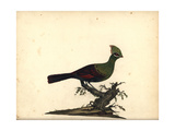 Guinea or Green Turaco, Tauraco Persa Giclee Print by William Hayes