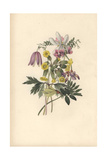 Wood Anemone, Bush Vetch and Cowslip Giclee Print by William Clark
