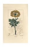 Galbanum, Ferula Gummosa Giclee Print by Pierre Turpin