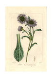 Michaelmas Daisy, Aster Calendulaefolius, Native to Europe Giclee Print by Pancrace Bessa