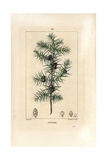 Juniper Tree, Juniperus Vulgaris Reproduction procédé giclée par Pierre Turpin