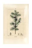 Juniper Tree, Juniperus Vulgaris Giclée-Druck von Pierre Turpin