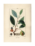 Nutmeg and Mace, Myristica Moschata Giclee Print by Pierre Turpin