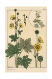 Buttercup Botanical Study Giclee Print by Eugene Grasset