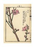 Peach Blossom, Prunus Persica Giclee Print by Bairei Kono