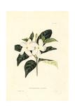 Crape Jasmine or Pinwheel Flower, Tabernaemontana Divaricata Giclee Print by George Loddiges