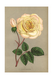 Adrienne Christophe Rose, Yellow Variety of the Tea Rose Giclee Print by Francois Grobon
