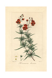 Mask Flower, Alonsoa Meridionalis, Native to South America Giclee Print by Pancrace Bessa