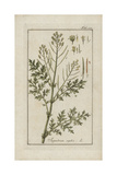 Flixweed or Fluxweed, Sisymbrium Sophia Giclee Print