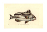 Banded Anthias, Anthias Diagrama Giclee Print by Richard Nodder