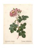 Celeste Rose, Rosa Alba Variety Giclee Print by Pierre-Joseph Redouté